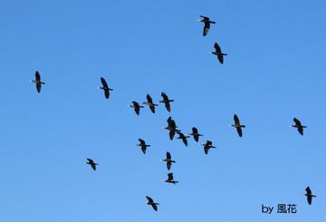 カワウの群れ