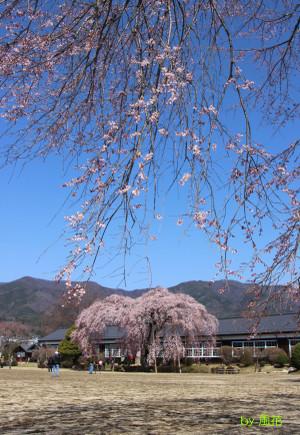 旧校舎と桜