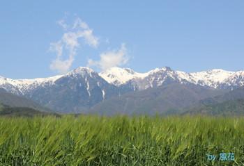 アルプスと麦畑