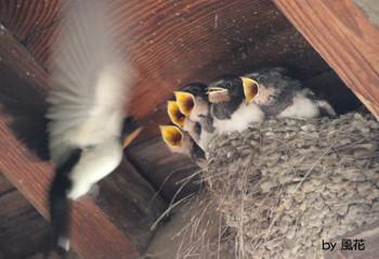 5羽のヒナたち